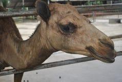 Верблюд улыбки верблюда смешной Стоковые Фотографии RF