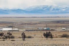 Верблюды в горах Стоковые Изображения