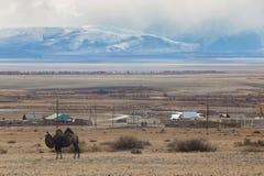 Верблюды в горах Стоковое Фото