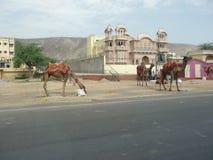 Верблюды в городке Стоковое Фото