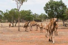 Верблюды в захолустье Квинсленде, Австралии Стоковая Фотография RF