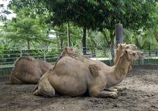 Верблюды в зоопарке Стоковые Изображения RF