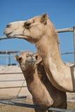 Верблюды в ОАЭ Стоковое Изображение
