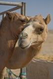 Верблюды в ОАЭ Стоковые Изображения RF