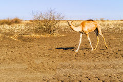 Верблюды в Судане Стоковые Изображения