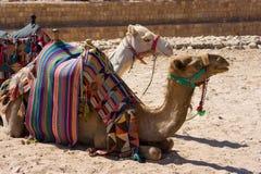 Верблюды в Petra в Джордане Стоковые Фотографии RF