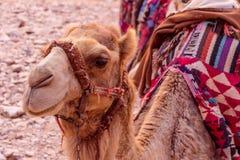 Верблюды в Petra в Джордане Стоковое фото RF