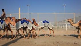 Верблюды гонок пересекая улицу в Катаре сток-видео
