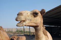 Верблюды едят сено Стоковая Фотография