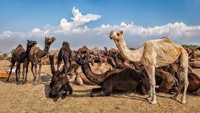 Верблюды на верблюде справедливом, Индии Pushkar Mela Стоковые Изображения