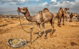 Верблюды на верблюде справедливом, Индии Pushkar Mela стоковое изображение