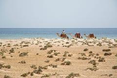 Верблюды на пляже Стоковая Фотография