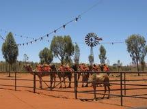 Верблюды на ферме дромадера Стоковое Фото
