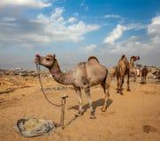 Верблюды на Pushkar Mela (верблюде справедливом), Индии Pushkar Стоковая Фотография RF