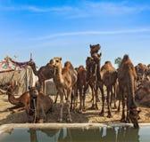 Верблюды на Pushkar Mela (верблюде справедливом), Индии Pushkar Стоковое Фото