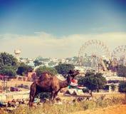Верблюды на Pushkar Mela (верблюде справедливом), Индии Pushkar Стоковые Фотографии RF