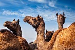 Верблюды на Pushkar Mela & x28; Верблюд Fair& x29 Pushkar; , Индия стоковая фотография