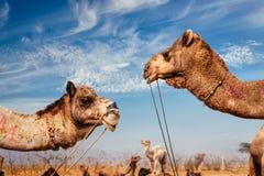 Верблюды на Pushkar Mela & x28; Верблюд Fair& x29 Pushkar; , Индия стоковые изображения