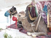 верблюды Стоковые Изображения