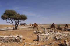 верблюды Стоковое Изображение RF