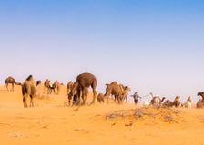 верблюды стоковая фотография rf