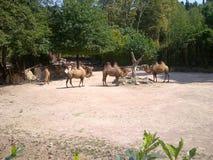 верблюды стоковое фото