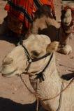 Верблюды, Petra Стоковое фото RF