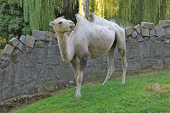Верблюд Стоковая Фотография RF