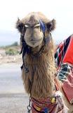 верблюд Стоковые Изображения