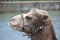 Верблюд Стоковые Фотографии RF