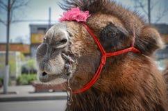 Верблюд Стоковое Фото