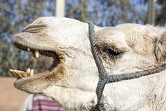 Верблюд Стоковое фото RF