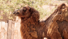 Верблюд Bactrain Стоковая Фотография RF