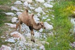 Верблюд (Camelus) Стоковое фото RF