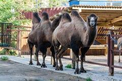 верблюд humped 2 Стоковое фото RF