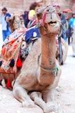 Верблюд Petra Стоковые Изображения