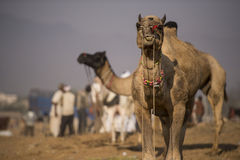 Верблюд Pushkar международный справедливый стоковые фото
