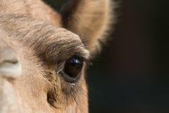 Верблюд & x28; дромадер или one-humped Camel& x29; , Зоопарк парка эмиратов, Dh Abu Стоковая Фотография