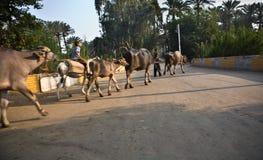 Веревочка коровы Стоковые Фотографии RF