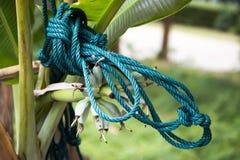 Веревочка на банановом дереве Стоковое Изображение