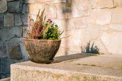 Вереск в винтажном каменном баке стоя на каменной стене во время солнечного стоковая фотография rf
