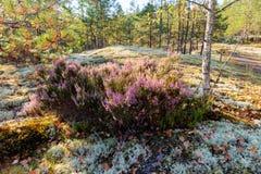 Вереск в лесе лета стоковые изображения