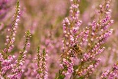 Вереск в крупном плане цветеня Стоковая Фотография RF