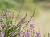 Вереск в цветени Стоковые Фотографии RF