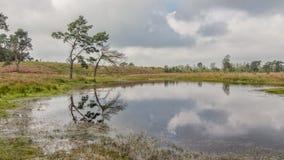 Вереск в Kalmthout Бельгии Стоковое фото RF