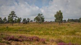 Вереск в Kalmthout Бельгии Стоковые Фотографии RF