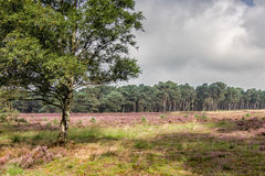 Вереск в Kalmthout Бельгии Стоковое Фото