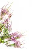Вереск на белой предпосылке Стоковое Фото