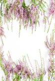Вереск на белой предпосылке Стоковые Изображения