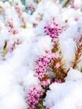 вереск Стоковая Фотография RF